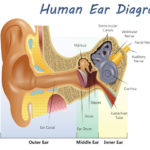 labeled picture of the ear